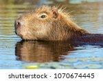 capybara  hydrochaeris...   Shutterstock . vector #1070674445