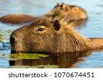 capybara  hydrochaeris...   Shutterstock . vector #1070674451
