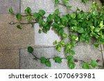 green money plant  epipremnum...   Shutterstock . vector #1070693981