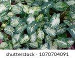 tropical green arrowhead leaf... | Shutterstock . vector #1070704091
