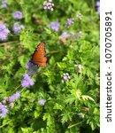 Monarch Butterfly In Flower...