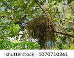 Small photo of A beautiful, bright, orange faced, black and white tropical Asian bird, hidden in the high branches, with its huge and somewhat shoddy nest, in a lush garden park in Bangkok, Thailand.