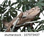bearded dragon climbing on a...   Shutterstock . vector #107073437