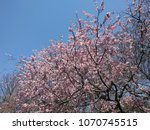 cherry blossoms   cherry trees... | Shutterstock . vector #1070745515