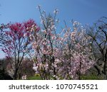 cherry blossoms   cherry trees... | Shutterstock . vector #1070745521