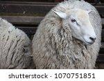 a sheep with abundant fur | Shutterstock . vector #1070751851