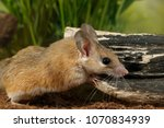 Small photo of closeup spiny mouse (Acomys cahirinus) stands near snag on background of grass