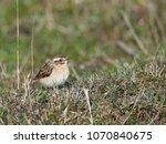 whinchat  saxicola rubetra    Shutterstock . vector #1070840675