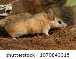 Small photo of closeup young female spiny mouse (Acomys cahirinus) hunts on insects on background of snags
