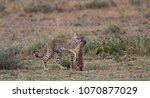the cheetah carries the victim... | Shutterstock . vector #1070877029