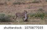 the cheetah carries the victim... | Shutterstock . vector #1070877035