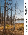 Small photo of Withered trees in a peat bog reserve in Latvia. Swamp.