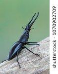giraffe stag beetle  ...   Shutterstock . vector #1070902709