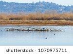 Mallard Ducks Resting And...