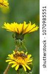 Honey Bee On Dandelion. Honey...