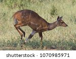 a bushbuck in full stride as it ... | Shutterstock . vector #1070985971
