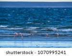 flamingos in seascape patagonia ... | Shutterstock . vector #1070995241