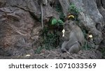 portrait of a monkey close up... | Shutterstock . vector #1071033569