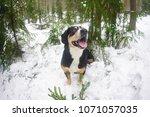 happy entlebucher mountain dog... | Shutterstock . vector #1071057035