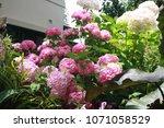beautiful hydrangea flowers in... | Shutterstock . vector #1071058529