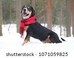 happy entlebucher mountain dog... | Shutterstock . vector #1071059825