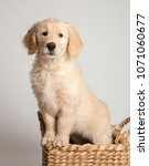 Sweet Goldendoodle Puppy In...