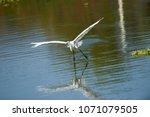 great egret  ardea alba  in... | Shutterstock . vector #1071079505