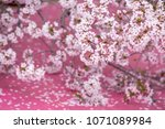 japanese sakura blossom | Shutterstock . vector #1071089984