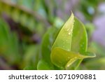 nature view of green leaf on...   Shutterstock . vector #1071090881