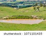 sheep near the dam  lake nature ... | Shutterstock . vector #1071101435
