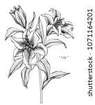 lily flower drawing... | Shutterstock .eps vector #1071164201