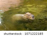 capybaras playing in the water.   Shutterstock . vector #1071222185