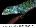 Small photo of Bocourt's arboreal alligator lizard (Abronia vasconcelosii) is endemic to the Sierra Madre de Chiapas region in Guatemala.