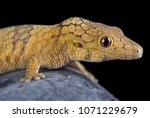 the large scaled chameleon... | Shutterstock . vector #1071229679