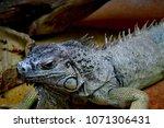 the green iguana  iguana iguana ... | Shutterstock . vector #1071306431