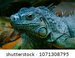 the green iguana  iguana iguana ... | Shutterstock . vector #1071308795