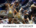 aquarium of guadeloupe and its...   Shutterstock . vector #1071311429