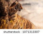 Royal Bengal Tiger Pose With...