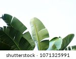 Stock photo group of big green banana leaves of exotic palm tree in sunshine on white background tropical 1071325991