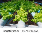 organic hydroponic vegetable... | Shutterstock . vector #1071343661