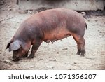 curious young pig of duroc's... | Shutterstock . vector #1071356207