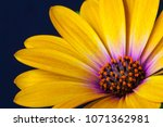 detail of yellow cape marigold  ... | Shutterstock . vector #1071362981