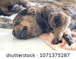 puppy is sleeping | Shutterstock . vector #1071375287