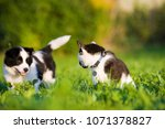 Stock photo border collie puppy and domestic cat in a meadow 1071378827