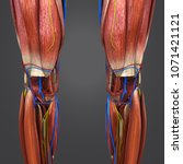 knee joint muscle anatomy with...   Shutterstock . vector #1071421121
