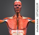 human muscular anatomy with...   Shutterstock . vector #1071421139