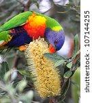 Australian Rainbow Lorikeet...