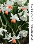 Small photo of Narcissus, genus of spring perennial plants of Amaryllidaceae (amaryllis) fperennial plantsamily. Spring