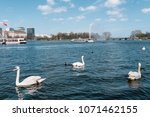swans and ducks swimming on... | Shutterstock . vector #1071462155