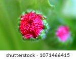 Pink Flower Bud  Macro  In...